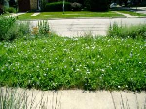 wild petunia lawn