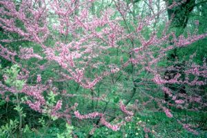 Redbud in woods