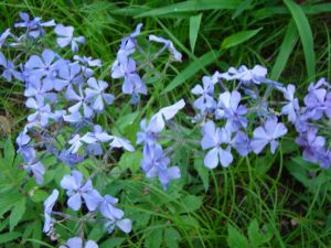Wild blue Phlox my gardem under Redbud