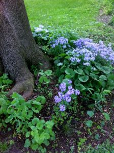Wild blue Phlox under tree at Karen's