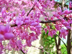 redbud mas of blossoms