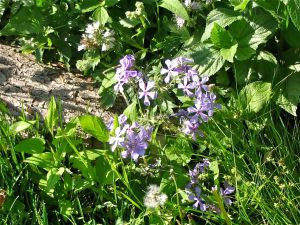 wild blue phlox nxt to log