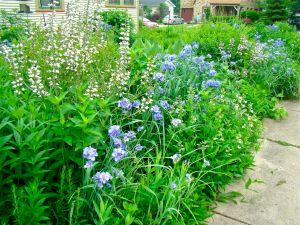 spiderwort and white wild indigo
