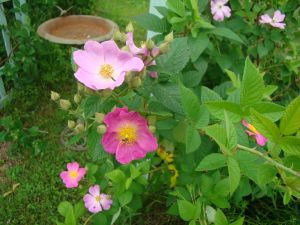Prairie Rose small cluster