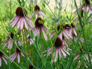 pale purple coneflower group