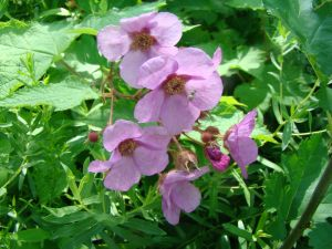 purple-flowering raspberry best one