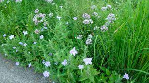 Wild petunia and summer beauty onion
