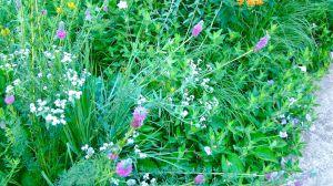 prairie petunia, purple prairie clover