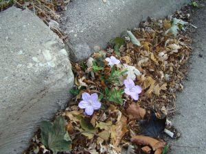 wild petunia in gutter