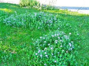 wild petunia patches in lawn