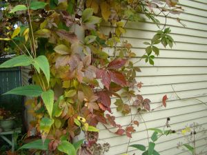 Virginia Creeper on drainpipe 2015