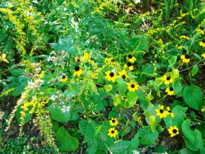 brown-eyed susan and blue-stemmed GR
