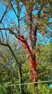 virginia creeper on tree