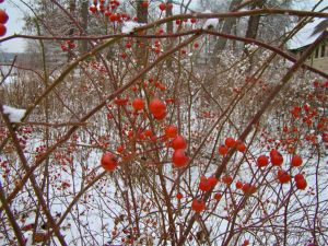 Illinois rose hips in winter