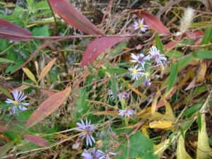 smoothblue aster  red leaves nov