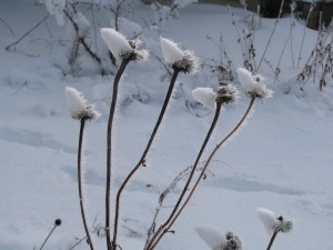 snow-topped echinacea