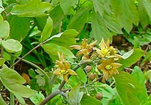 blue cohosh flowers