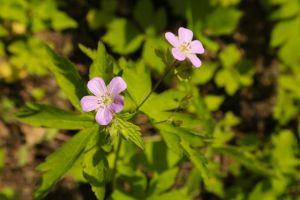 Wild Geranium BS
