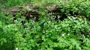 wild geranium BFP