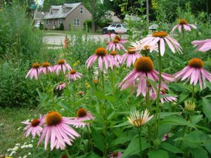 purple coneflower overlooking corner