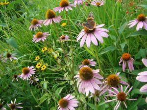 purple coneflower w: red Admiral