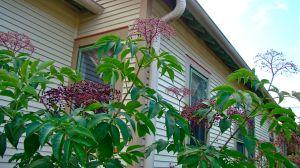 elderberry berres
