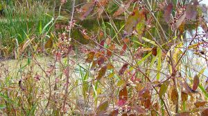 gray dogwood berries