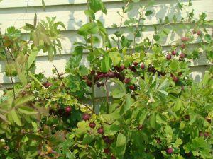 rioe gooseberries