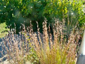little-bluestem-feathers