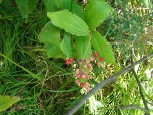 feathery-false-solomons-seal-berries