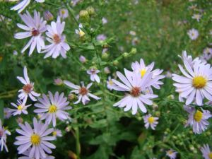 smooth-blue-aster