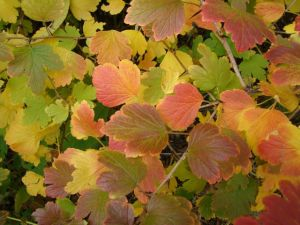wild-gooseberry-fall-color