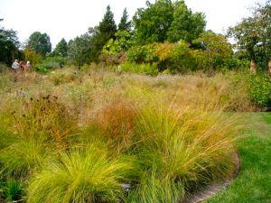 prairie-dropseed-at-cbg-fall