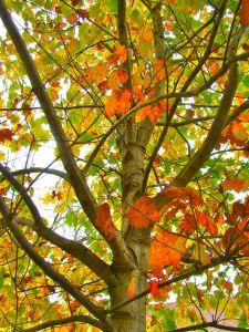 red-oak-oct-2016