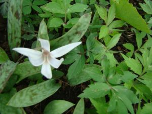 dog-tooth violet in bloom apr, 24