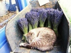 cats vs essential oils