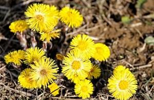Huflattich - Bote des Frühling