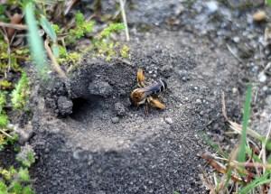 Die Wildbiene liebt Insektenhotels