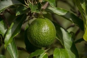 Avocado nicht nur lecker in der Küche, sondern ideal für die Gesichtspflege