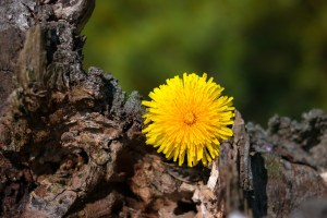 Die Wurzel des Löwenzahns kann bei Zöliakie helfen