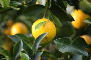 Die Zitrone für das Immunsystem