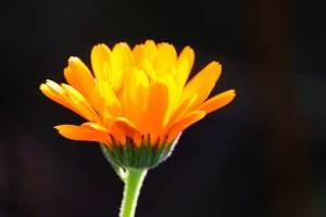 Die Ringelblume kann bei geschwollenen Lymphknoten helfen