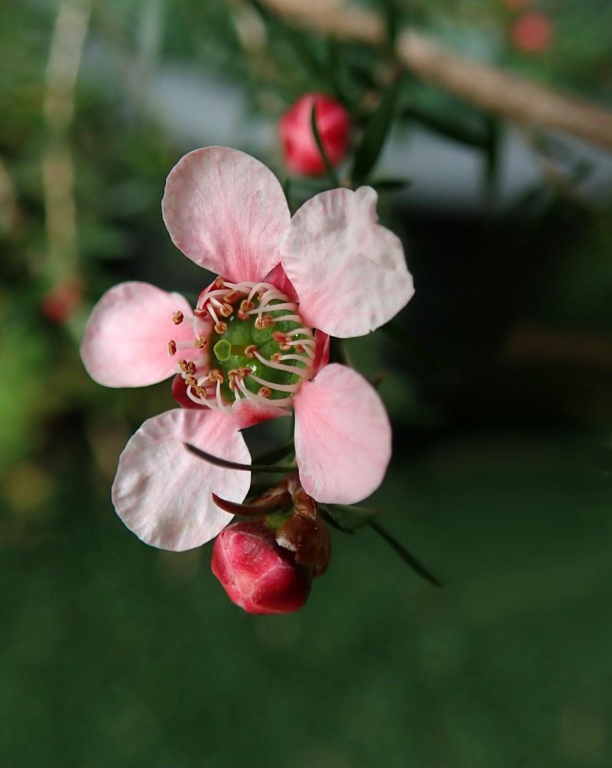 Teebaumöl - ein Alleskönner aus der Natur