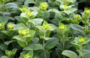 Pfefferminze - eine Heilpflanze, die nicht nur gut schmeckt, sondern auch wirkt