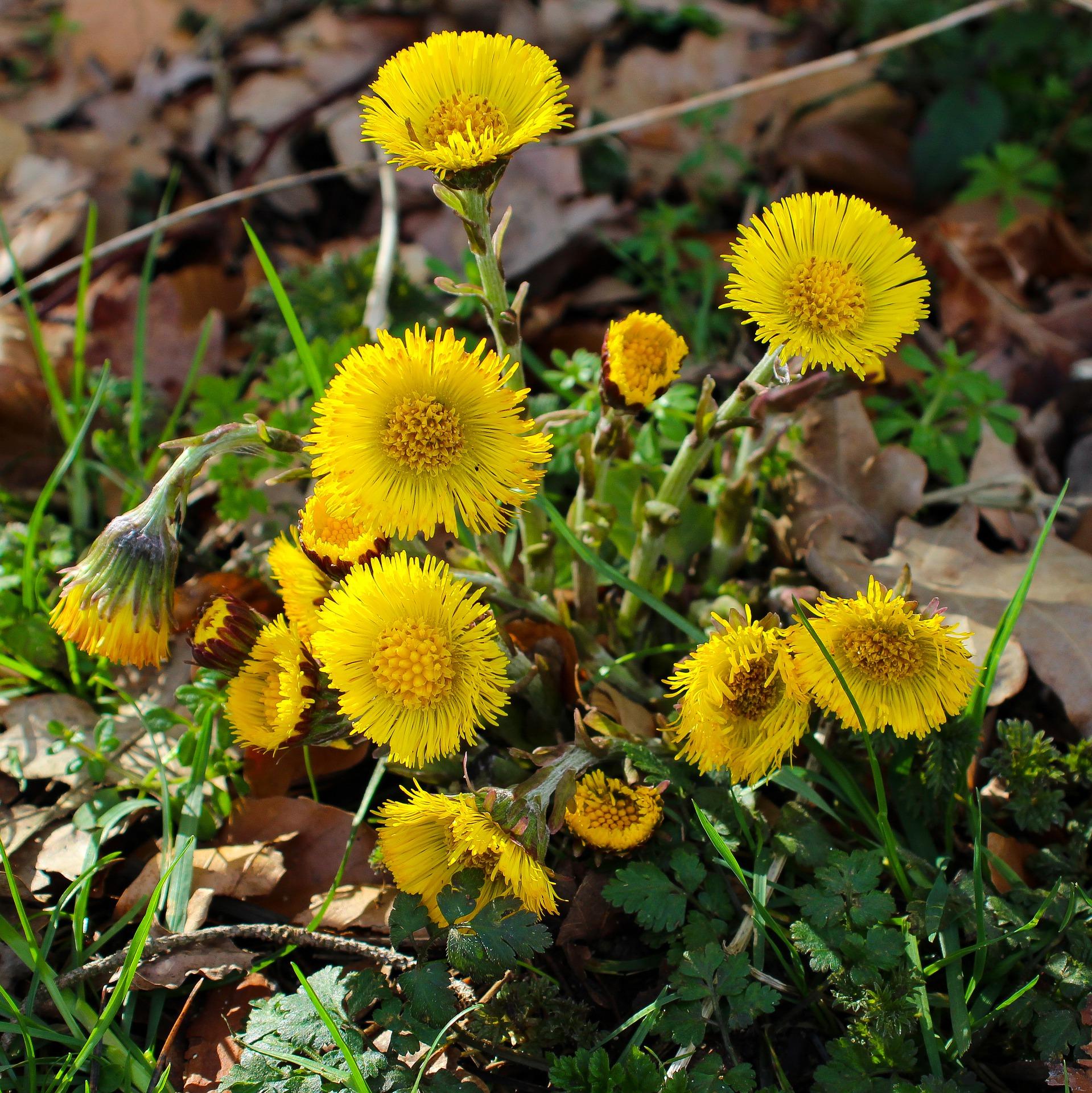 Huflattich - die ideale Heilpflanze bei Husten und Asthma