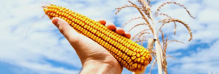 corn_crop_gmo_735_250-level