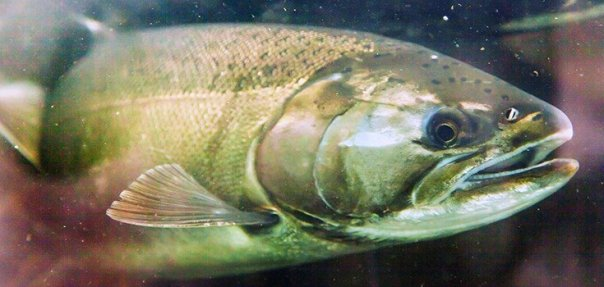 gmo_salmon-735 hasta 350