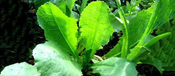wild-opium-lettuce-lactuca-virosa-680