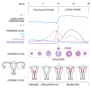 The phases of the human menstrual cycle
