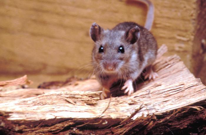 Maine reports first documented case of Hantavirus; California city ...
